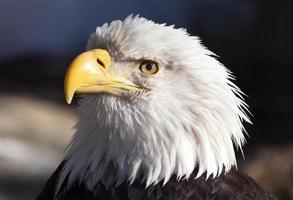 closeup de águia americana foto