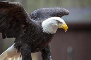 majestosa águia americana foto