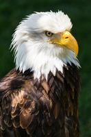 águia americana - haliaeetus leucocephalus foto