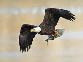 águia americana com peixe foto