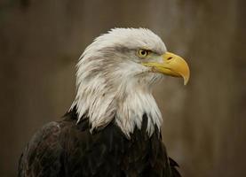 águia (3) foto