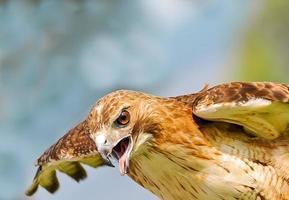 falcão de cauda vermelha (buteo jamaicensis) foto