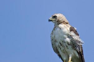close-up de um falcão de cauda vermelha