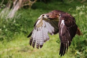 falcão de cauda vermelha americana em voo. foto