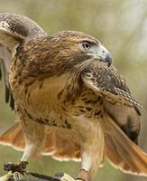 falcão de cauda vermelha com asas abertas. foto