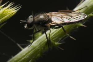 verdadeira mosca foto
