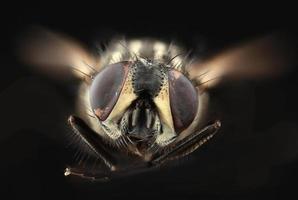 entalhe da mosca da casa foto