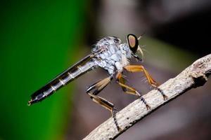 close-up mosca ladrão foto