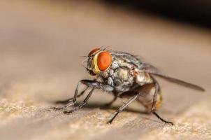mosca doméstica comum foto