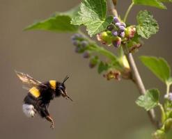 abelha voando para flor foto