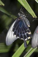 borboleta rabo de andorinha foto