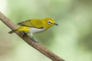 lindo pássaro, olhos brancos orientais. lindo pássaro no galho foto