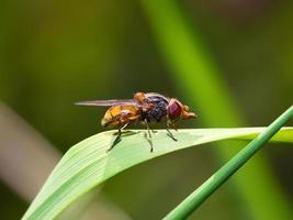 macro de insetos mosca na folha foto