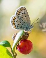 lycaenidae foto