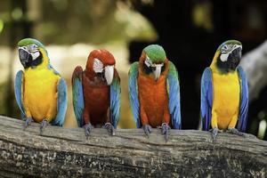 papagaios foto