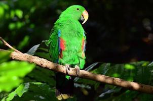 papagaio eclectus feminino foto