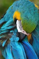 papagaio mccaw foto