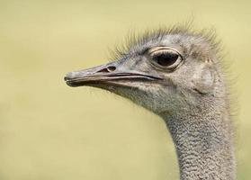 avestruz comum (struthio camelus) foto