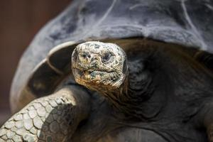 tartaruga gigante de galápagos