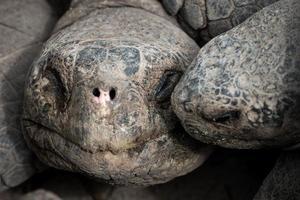 tartaruga de galápagos foto