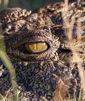 olho de crocodilo foto
