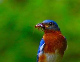 pássaro azul masculino, segurando um grilo foto