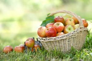 época de colheita, maçãs foto