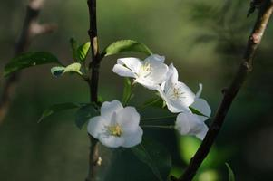 flores de macieira