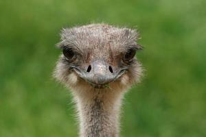 avestruz sorridente foto
