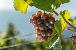 cacho de uvas com gotas. foto