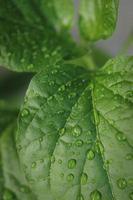 folhas de limão foto