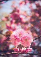 Flor de cerejeira foto