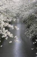 flores de cerejeira acima do rio foto