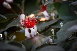 flor de feijoa foto