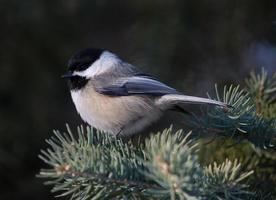 chickadee de tampa preta no inverno foto
