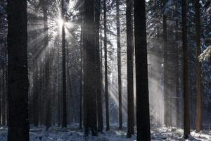 raios de sol na floresta de inverno