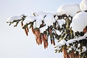 abeto, cones, neve, inverno.