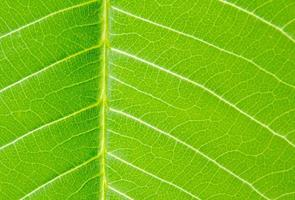 a folha verde da natureza