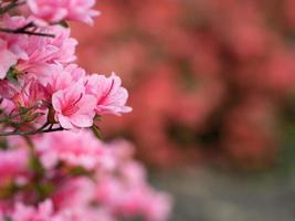 rododendros cor de rosa foto