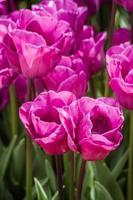 lindas tulipas coloridas em um jardim verde de Istambul foto