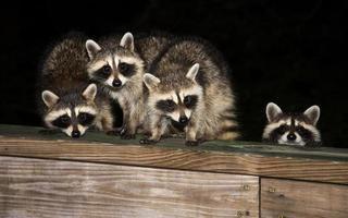 quatro guaxinins bebê fofo em uma grade de convés foto