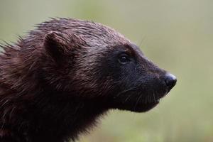 retrato de wolverine