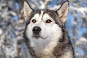 cão de trenó foto