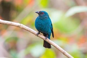 fêmea asiática bluebird (irena puella) foto