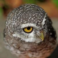 corujinha manchada ou athene brama pássaro foto