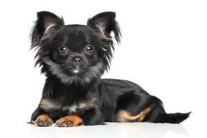 filhote de cachorro chihuahua de cabelos compridos foto