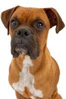 closeup de cão boxer
