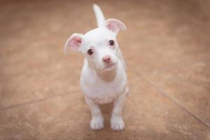 chihuahua branco