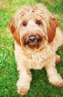 cão jovem goldendoodle foto
