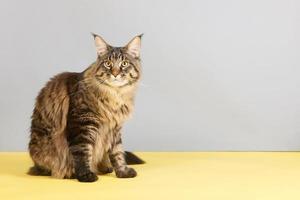 gato maine coon foto